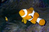 Pair of False Clown Anemonefish in Lembeh Straits
