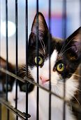 Close Up View Adorable Cute Black Cat With White Muzzle In A Cage Behind Jail, Concept Of Animal She poster