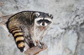 Wilde Tiere, Racoonprocyon Lotor Raubtiere, enotovy