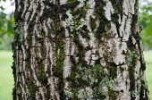 Close Up Of Tree Trunk Bark Covered With Moss And Lichen. Nature Background. Mountain Birch Bark Tex poster