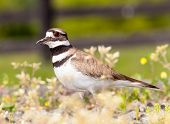 stock photo of killdeer  - Close up shot of Killdeer bird at nesting time and defending its young with aggressive dance - JPG