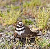 foto of killdeer  - Close up shot of Killdeer bird at nesting time and defending its young with aggressive dance - JPG
