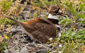 stock photo of killdeer  - Close up shot of Killdeer bird at nesting time sitting with chicks and eggs on nest - JPG