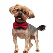 side view of happy yorkshire terrier panting, sticking out tongue, wearing red bowtie, standing isol poster