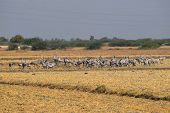 Flock Of Common Cranes Also Known As Eurasian Crane (grus Grus) Gathered In Big Groups In Desert Of  poster