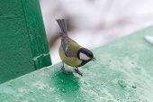 Hungry Tit Eats Seeds In Winter Day poster