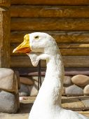 Goose Head Close-up Front. Portrait Of A White, Gray Goose Head. Poultry Goose, Head And Beak Close- poster