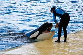 stock photo of orca  - Orca whale Orcinus orca Show Loro Parque Tenerife Canarian islands - JPG