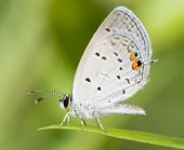 Tiny Eastern Tailed Blue butterfly resting on a blade of grass against summer green background poster