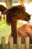 Furry Brown Lama In Zoo Austria Styria Herberstein Tourist Destination Autumn Time. poster