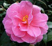 A Camellia Japonica