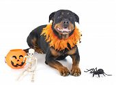Purebred Rottweiler In Front Of White Background poster