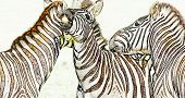 Close Up Of A Playful Group Of Zebras poster