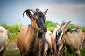 Countryside. Artiodactyl Animal Farm. In The Frame Is A Herd Of Brown Goats. The Goat Is Looking Int poster