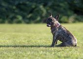 Beautiful Brindle French Bulldog Obediently Sitting,  Green Park Background ,  Copy Space Room For T poster
