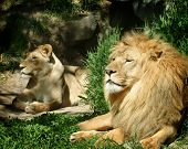 Lion and Lioness Outdoors in the Sun