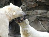 Polar Bear Spat