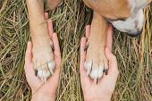 Human Hands Hold Dog Paws In Autumn Grass Background. Dog Paws Lie On Human Palms On Autumn Grass Ba poster