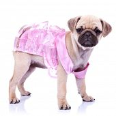 curious little puppy dog princess standing on white background. cute pug puppy wearing a ping dress