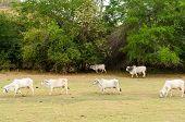 Cows In An Arid Field
