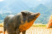 stock photo of pot-bellied  - vietnam pig - JPG