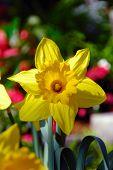 King Alfred Trumpet Narcissus Daffodil