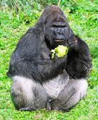 large male silver back western lowland gorilla (gorilla gorilla gorilla) eating vegetation in a sea