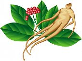 Ginseng root and a part of the plant. Raster image. Find an editable version in my portfolio.