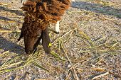 Sheep Eat Grass5