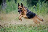 stock photo of shepherd  - the german shepherd runs free forward in forest - JPG