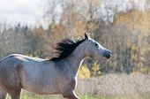 Autumn portrait of arabian horse