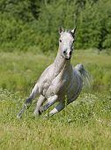 grey dappled arabian horse running free