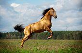Golden Chestnut Horse In Action