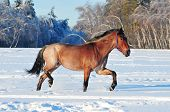 roan horse in the winter field running