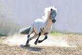 stock photo of appaloosa  - The appaloosa pony in dust action shot - JPG