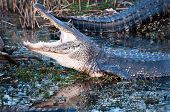 Alligator With Jaws Wide Open