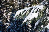 Branch Of A Douglas-fir Pine Tree Covered With Snow