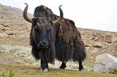 picture of yaks  - Brown tibetan yak in a pasture at Himalaya mountains - JPG
