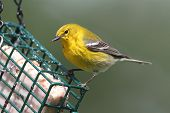 stock photo of pinus  - Pine Warbler  - JPG