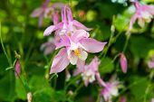 pic of columbine  - Beautiful Pink Columbine Aquilegia chrysantha Flower close - JPG
