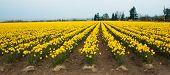 Yellow Daffodil Farm