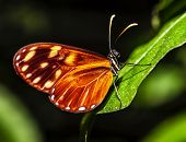 Picture of orange-spotted Tiger Clearwing butterfly, Mechanitis polymnia, Costa Rica wild nature, beautiful insect with colorful wings on green leaf in the forest, magnificent fauna, mexican animal