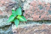 Plant Little Tree On Old Red Bricks Wall Background.