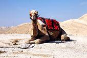 stock photo of dromedaries  - dromedary camel in the desert  - JPG