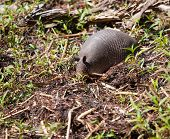 foto of armadillo  - Armadillo in Florida that has its nose in the ground - JPG