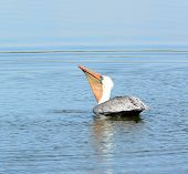A Brown Pelican swallowing his catch. Photographed at the San Joaquin Wildlife Sanctuary, Irvine, CA