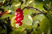 Chinese Magnolia Vine Berries