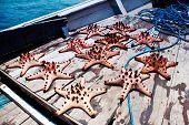 Captured sea stars in an Indonesian Fishermen boat