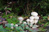 Spiney puffball mushrooms