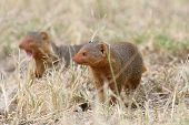 Common Dwarf Mongooses